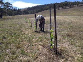 Planting the poplar wind break